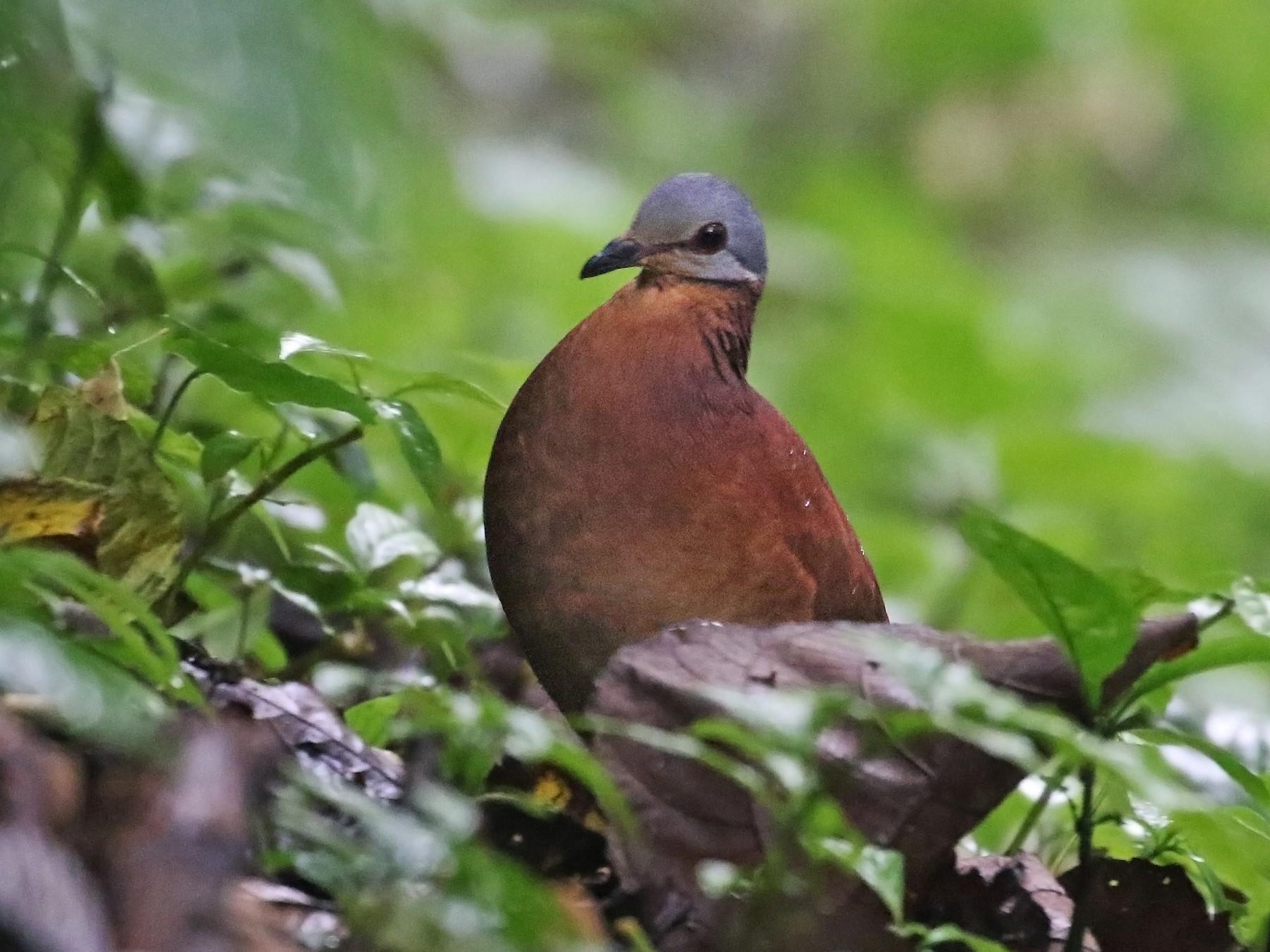 Chiriqui Quail-Dove - Andrew Spencer