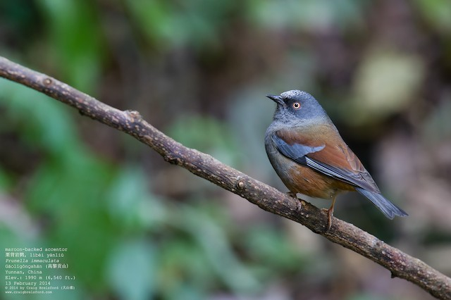 Maroon-backed Accentor