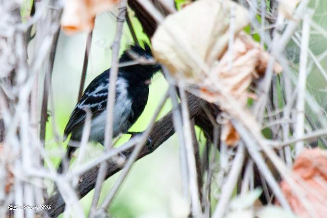 Black-backed Antshrike
