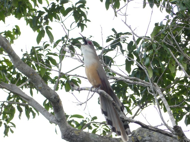 Great Lizard-Cuckoo (Cuban)