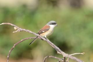 - Burmese Shrike