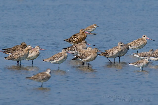 Bar-tailed Godwit (Siberian)