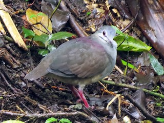 - Purplish-backed Quail-Dove
