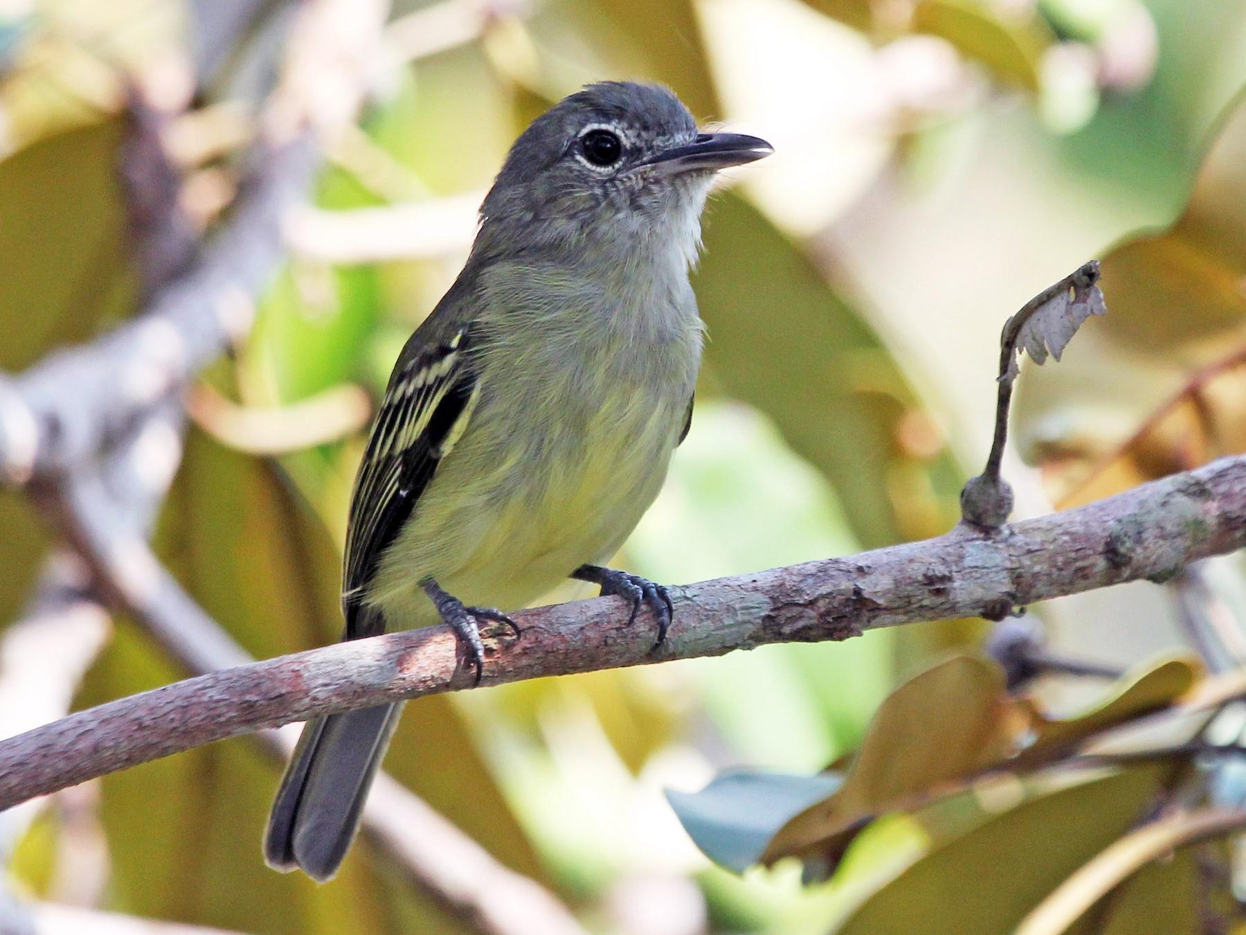 Yellow-margined Flycatcher - Alexander Lees