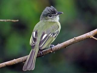 - Yellow-margined Flycatcher