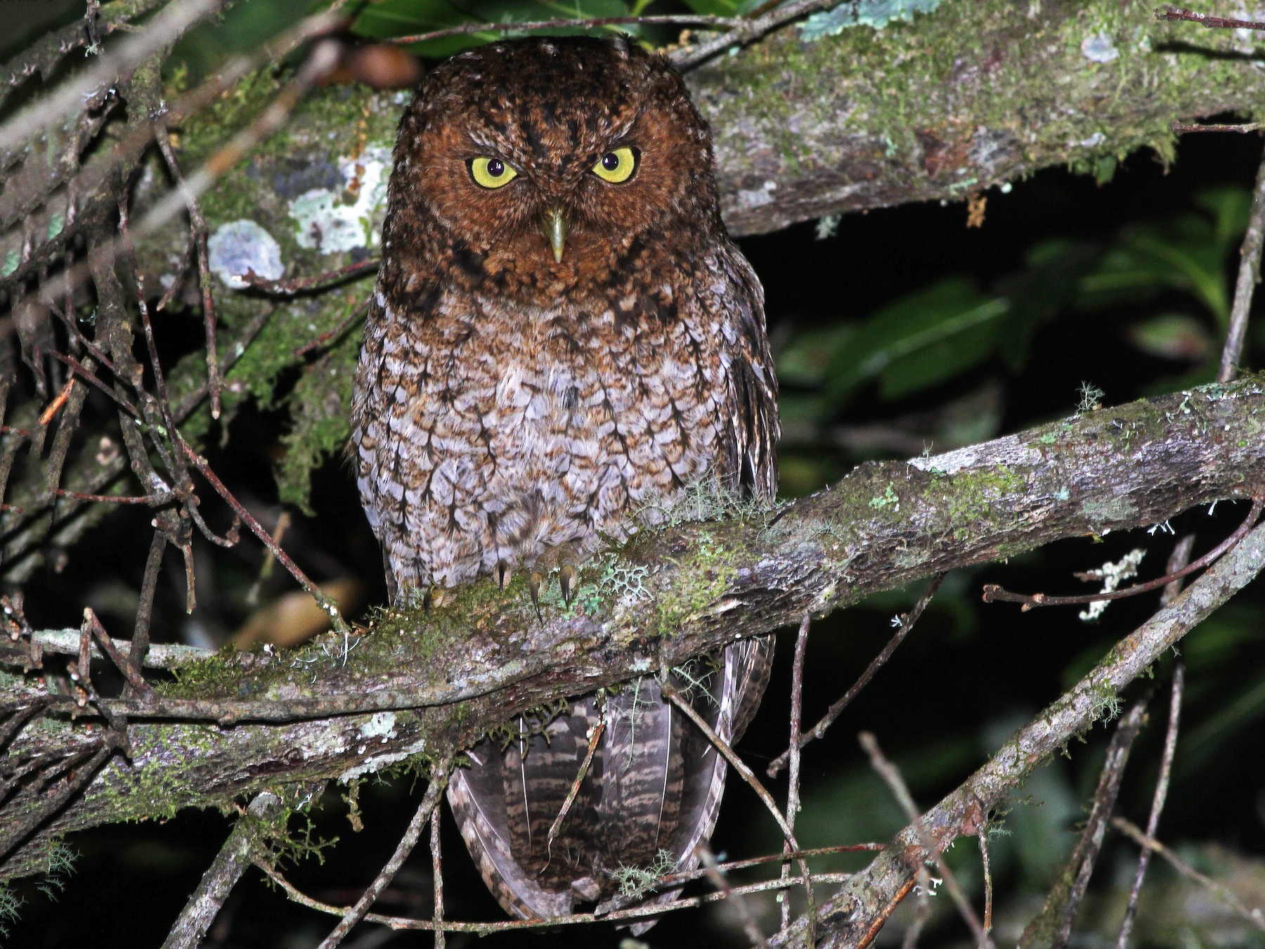 Bare-shanked Screech-Owl - Andrew Spencer