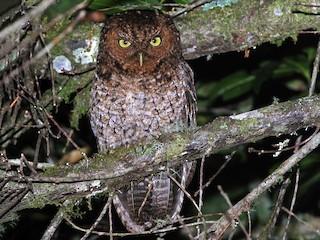 - Bare-shanked Screech-Owl