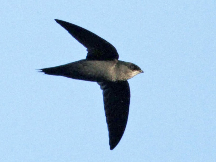 Gray-rumped Swift - Jay McGowan