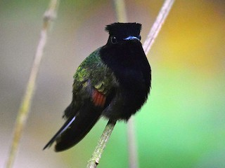 - Black-bellied Hummingbird