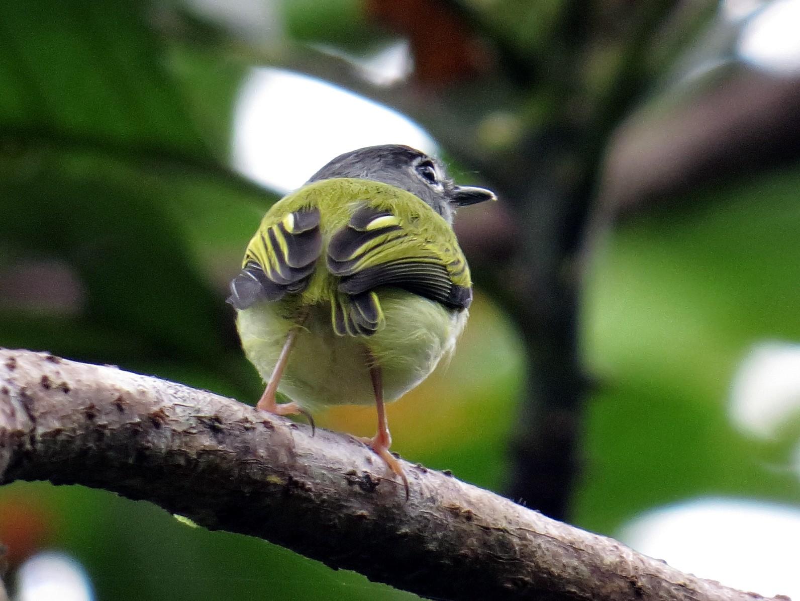 Black-capped Pygmy-Tyrant - Andrés M. Cuervo