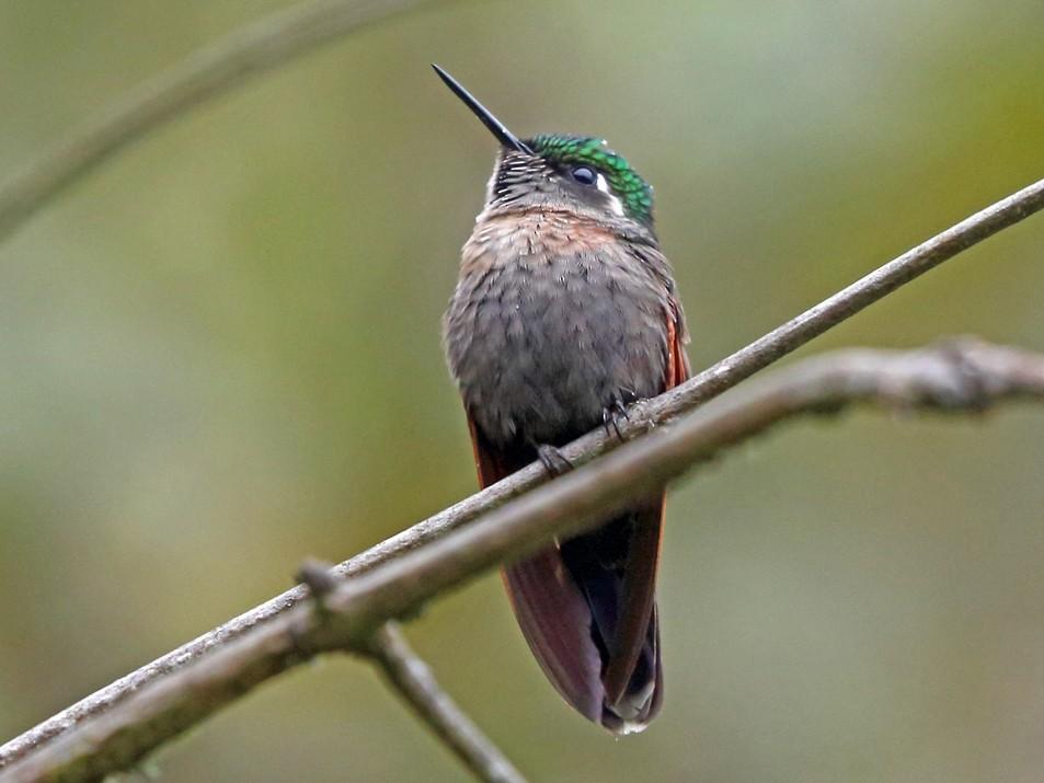 Garnet-throated Hummingbird - Nigel Voaden
