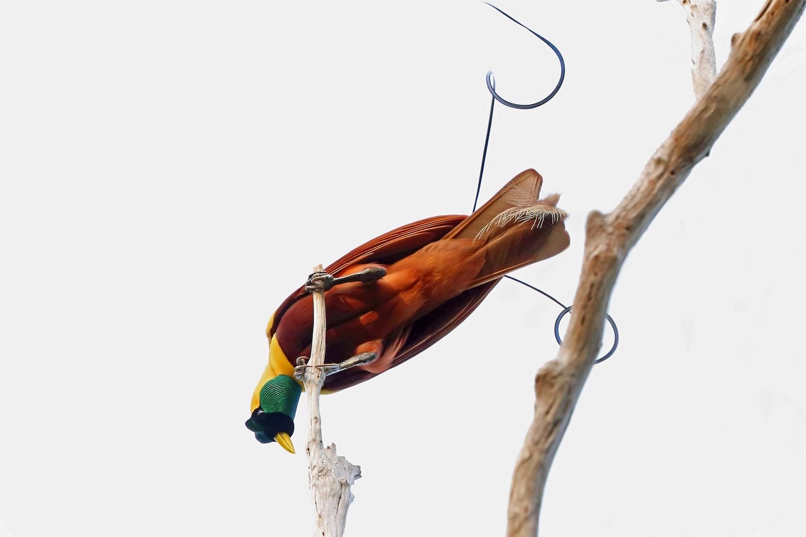 Red Bird-of-Paradise - Nigel Voaden