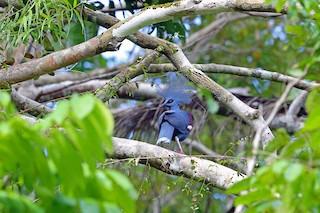 - Western Crowned-Pigeon