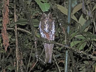 - Feline Owlet-nightjar