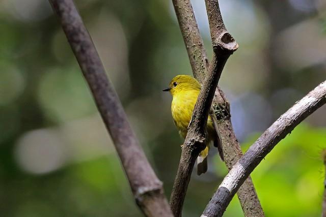 Papuan Flycatcher