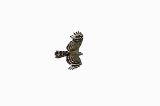 - Long-tailed Honey-buzzard