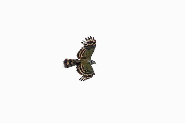 Long-tailed Honey-buzzard