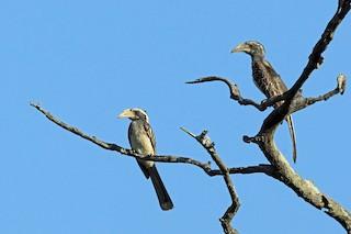 - Pale-billed Hornbill