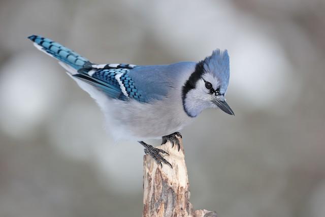 Blue Jay ML47351251