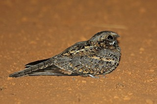 - Fiery-necked Nightjar