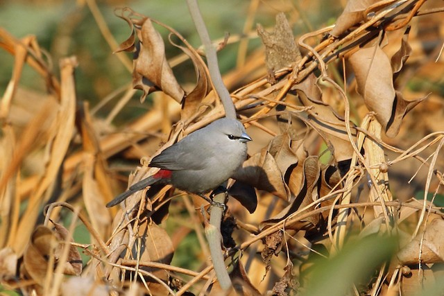 Black-tailed Waxbill