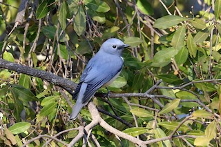 - White-breasted Cuckooshrike