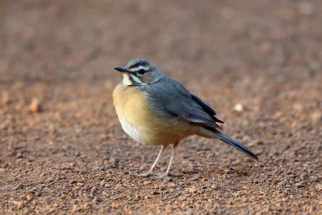 Miombo Scrub-Robin