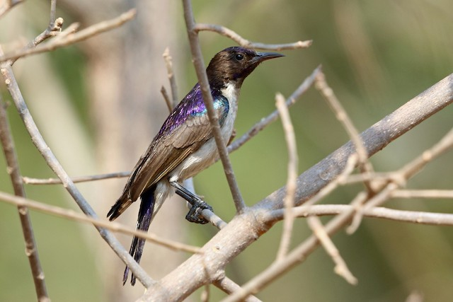 Western Violet-backed Sunbird (Southern)