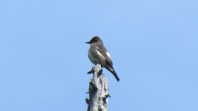 Olive-sided Flycatcher