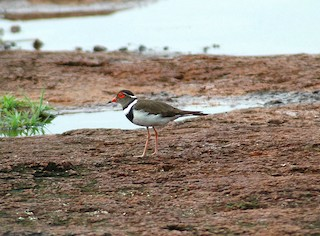 - Forbes's Plover