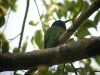 - Black-headed Bee-eater
