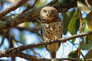 - African Barred Owlet (Bar-fronted)