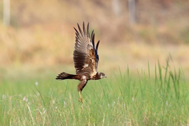 African Marsh-Harrier