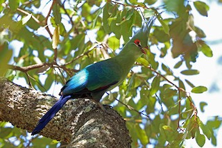 - Schalow's Turaco