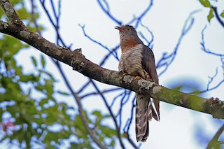 - Red-chested Cuckoo
