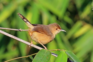 - Red-faced Cisticola (Red-faced)