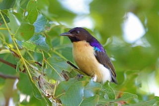 - Western Violet-backed Sunbird (Southern)