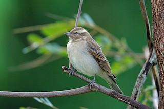 - Yellow-throated Bush Sparrow