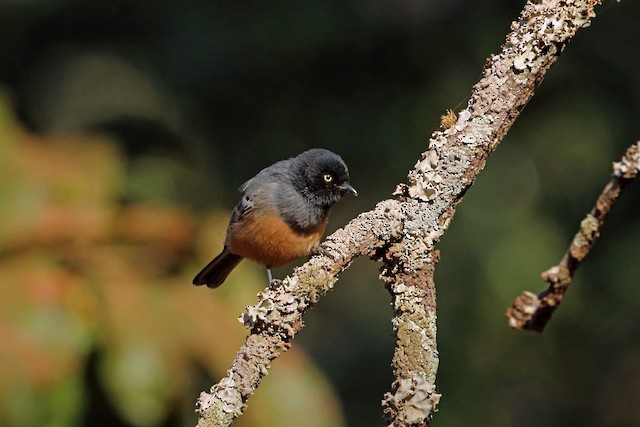 Rufous-bellied Tit (Rufous-bellied)