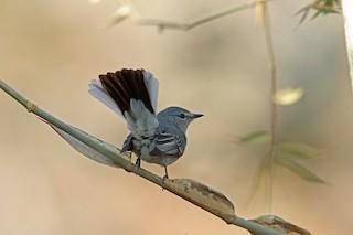 - Gray Tit-Flycatcher