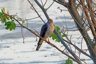 - Ovambo Sparrowhawk