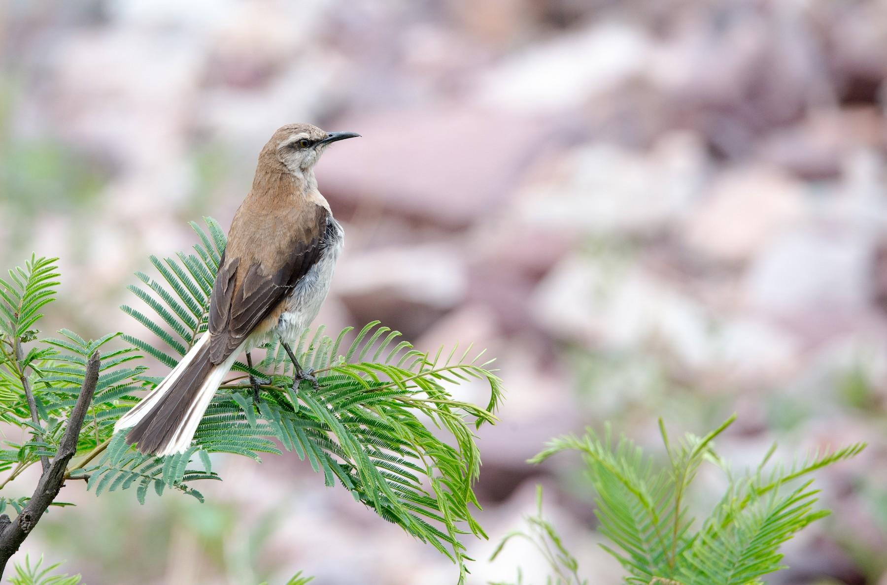Brown-backed Mockingbird - Mariano  Ordoñez