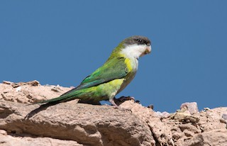 - Gray-hooded Parakeet