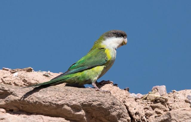 Gray-hooded Parakeet