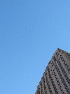 Peregrine Falcon, ML47598641