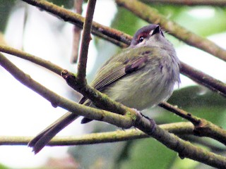 - Rufous-browed Tyrannulet