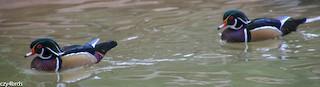 Wood Duck, ML47645451