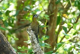- Streak-breasted Woodpecker