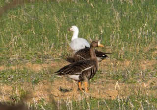 Ross's Goose, ML47680371