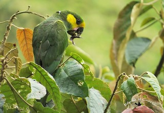 - Yellow-eared Parrot